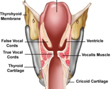 larynx-fausses-cordes